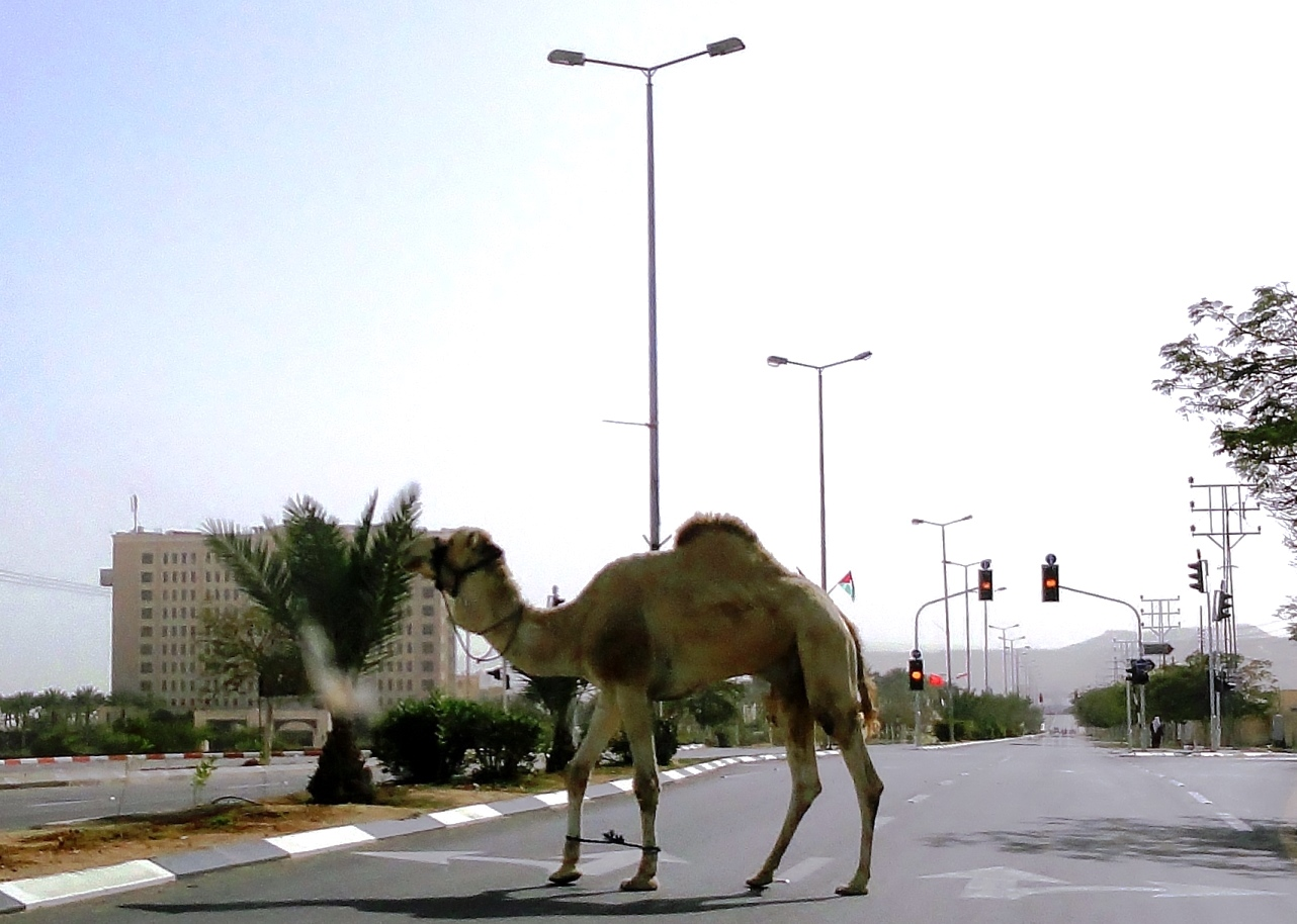 camel crosses the road