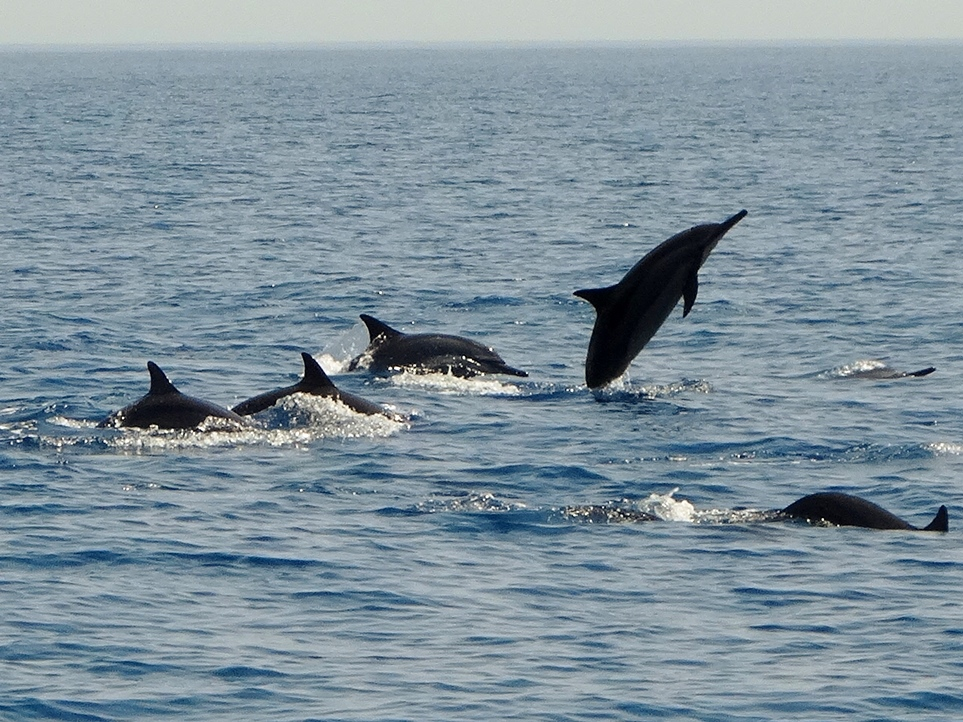 gulf of oman dolphins